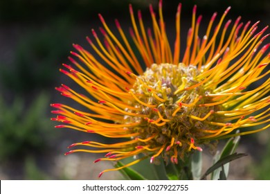 Spectacular sun lit close-up of a Leucospermum flower- also known as limestone pincushion- a native of South Africa, in a garden.