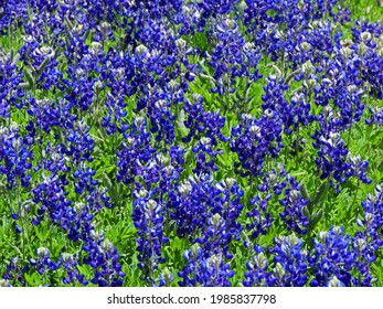 spectacular texas bluebonnet wildflowers blooming in spring alongside the road near austin, in texas hill county