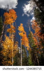 Spectacular vertical view of the autumn colored leaves and Pine Trees in Dixie National Forest in Southern Utah, USA.
