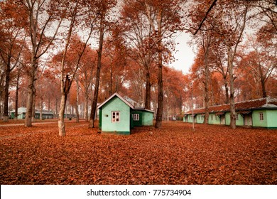 Spectacular view of fallen leaves from maple trees seen all over ground inside Kashmir University Campus in Srinagar, Jammu and Kashmir, India