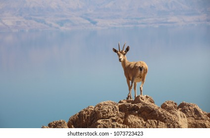 Spectacular view of a  young curious female Nubian Ibex in the Judean Desert cliffs, above the Dead sea, Israel
