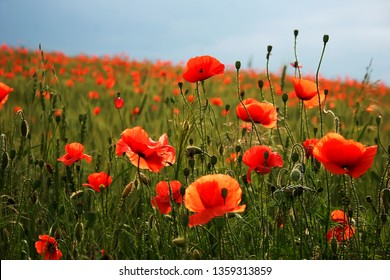 Spectacular vivid bloom close up of Poppies in Poppy field. Hello spring,  Spring landscape, rural background, Copy space. Flower poppy flowering on background poppies flowers. Nature.