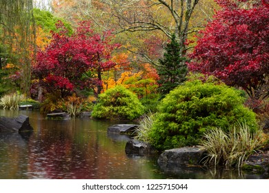 Spectacularly colorful maple trees and foliage by a pond in the Japanese Garden at Gibbs on a rainy, fall day.