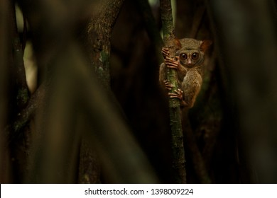 Spectral Tarsier, Tarsius, portrait of rare endemic nocturnal mammal trying to catch and eat grasshopper, cute primate in large ficus tree in jungle, Tangkoko National Park, Sulawesi, Indonesia
