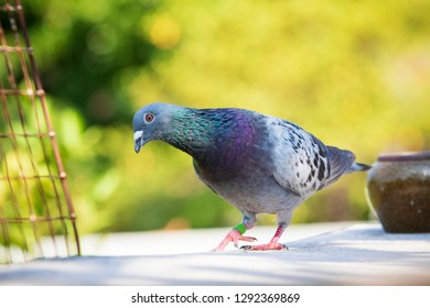 speed racing pigeon walking on home loft roof