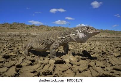 Spencer's monitor lizard, outback Australia