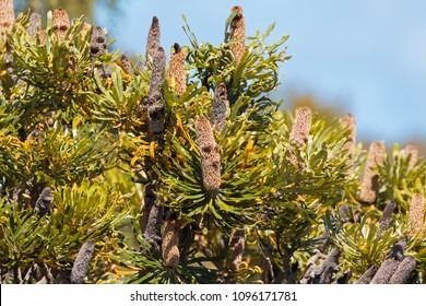 The spent flower spikes of Banksia growing in Western Australia