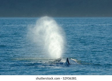 Sperm Whale blowing off the coast of New Zealand