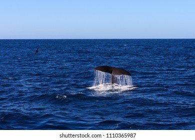 Sperm Whale fluke with dripping water and a seabird near Kaikoura, New Zealand