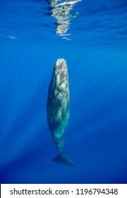 Sperm whale, Indian Ocean, Mauritius.