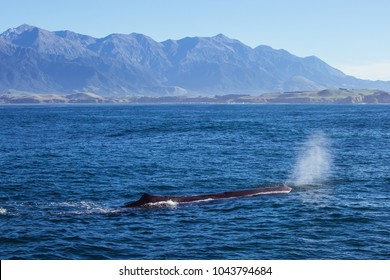 A Sperm whale in Kaikoura