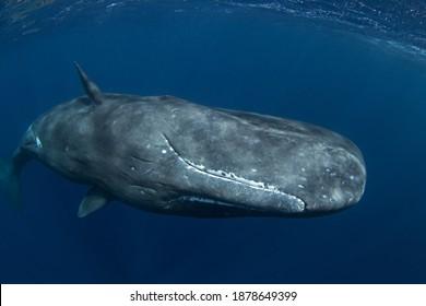 Baleine à perles près de la surface. Nager avec des baleines. Rencontre rare dans l'océan tropical.