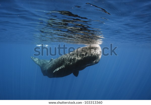 Sperm whale off Sri Lanka