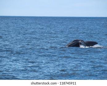 Sperm Whale showing its flukes as it dives, Vesteralen,  Norway