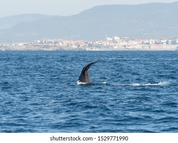 Sperm Whale showing flukes diving in The Straits of Gibraltar.