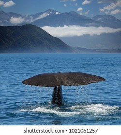 Sperm whale starts a deep dive at the coast near Kaikoura (New Zealand)