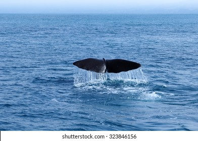 Sperm Whale tail. Picture taken from whale watching cruise in Kaikoura, New Zealand