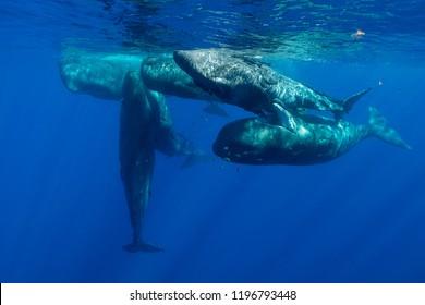 Sperm whales socialising, Indian Ocean, Mauritius.