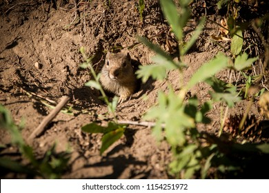 Spermophilus squirrel showing only his cute face from a hole in the ground in Albion Basin, Alta, Little Cottonwood Canyon, Utah, USA.