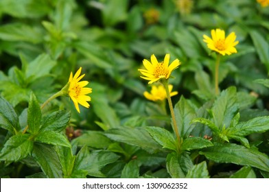 Sphagneticola trilobata or bay biscayne or singapore daisy or creeping-oxeye green plant with yellow flowers soft focus