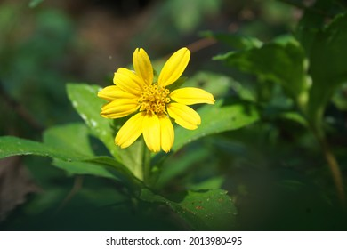 Sphagneticola trilobata with a natural background. Also called Bay Biscayne creeping oxeye, Singapore daisy, creeping oxeye, trailing daisy, wedelia
