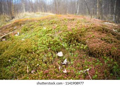 Sphagnum covered hillock