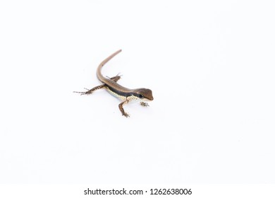 Sphenomorphus maculatus, the spotted forest skink, maculated forest skink or stream-side skink is a species of skink found in China, South Asia and Southeast Asia.