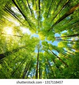 Spherical panorama in a forest, magnificent upwards view to the treetops with fresh green foliage, square format