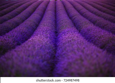 The spherical rows of flowering lavender on the field in the Provence