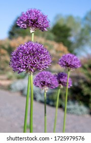 Spherical shaped, statuesque purple allium flower blooms (ornamental onion) against a soft focus background of green trees and blue sky on a sunny day.