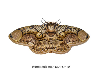 The Sphingidae are a family of moths commonly known as hawk moths, sphinx moths, and hornworms isolated to white background
