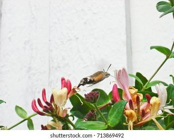 (Sphingidae ) moth in honeysuckle