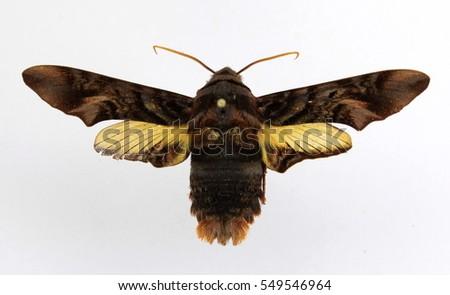 Sưu tập Bộ cánh vẩy  - Page 46 Sphingidae-moth-sphecodina-caudata-450w-549546964