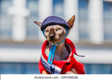 Sphinx Cat dressed as a pimp wearing