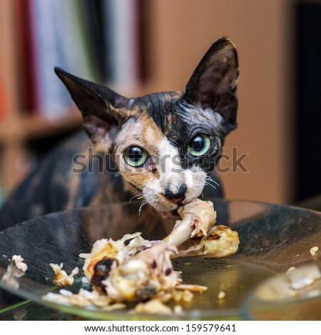 Sphinx Cat Eating Chicken Human Plate Stock Photo Edit Now