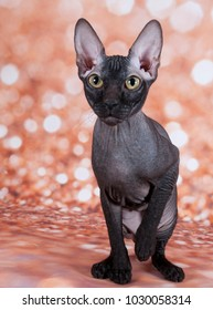 the sphinx cat in the gold background