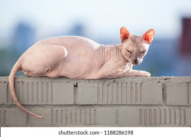 Sphinx cat laying in the sunshine on rail of balcony
