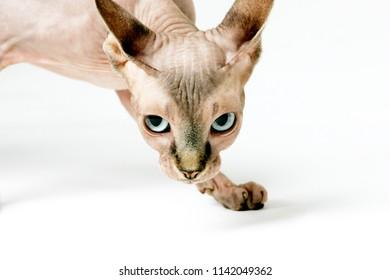 Sphinx cats on the white studio background