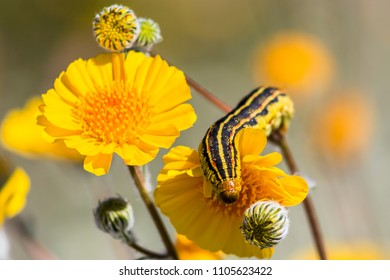 Sphinx moth caterpillar on a desert sunflower (Geraea canescens) in Anza-Borrego Desert State Park.