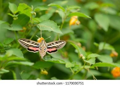 Sphinx moth in Minnesota Agnieszka Bacal.