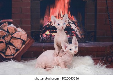 Sphinx on a white plaid by the fireplace