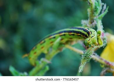 Sphinx Sphynx Moth Caterpillar
