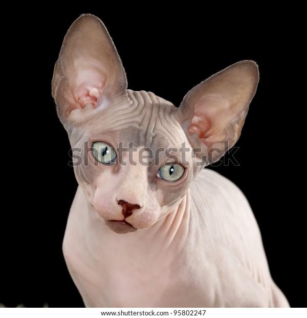 Sphynx Canadian Hairless Kitten On Black Stock Photo (Edit