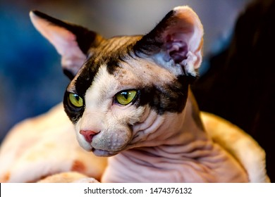 The Sphynx cat is a breed of cat known for its lack of coat.Hairlessness in cats is a naturally occurring genetic mutation;however,the Sphynx,as a breed,was developed through selective breeding,in1960