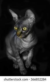 Sphynx cat, Brown mackerel tabby yellow eyes, black background