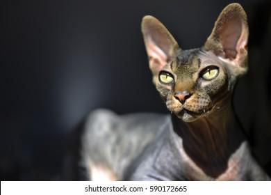 Sphynx cat, Brown mackerel tabby