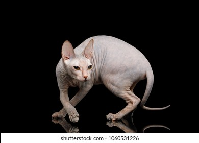 Sphynx Cat Crouching Hunting Looking back Isolated on Black Background