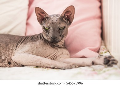 Sphynx cat, Hairess