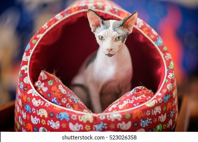 Sphynx cat, Hairess cat moving out from his cousion bed
