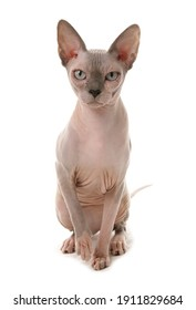 Sphynx cat isolated on a white background